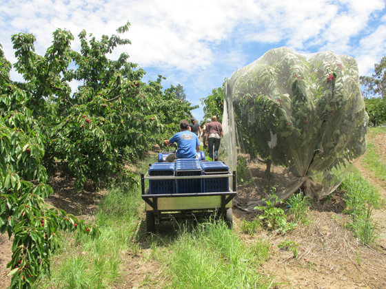 2_Fruit Picking Adelaide