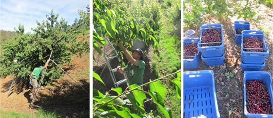 3_Fruit Picking Adelaide