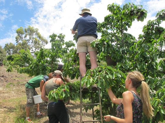5_Fruit Picking Adelaide