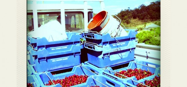 Cherry Picking in Adelaide Hills