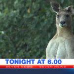 Giant Kangaroo Threatens Brisbane Residents