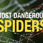 The most dangerous spiders in Australia