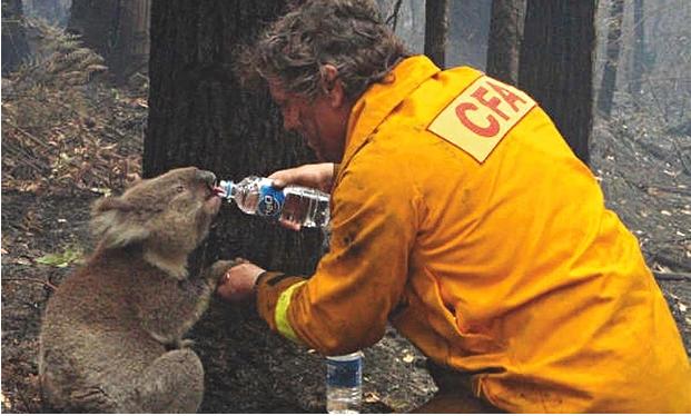 koala thirsty
