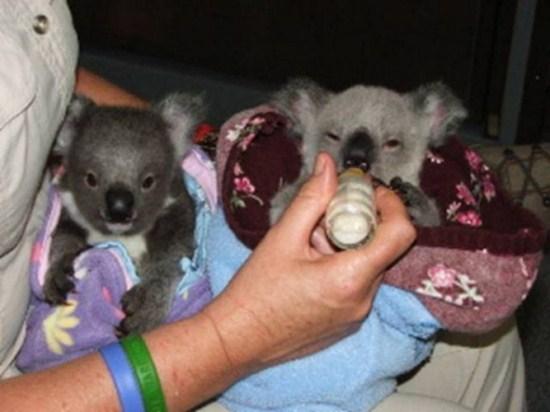koala stories_twins 4