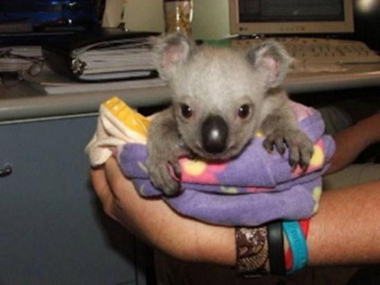 koala stories_twin