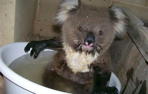 joey abandoned koala baby