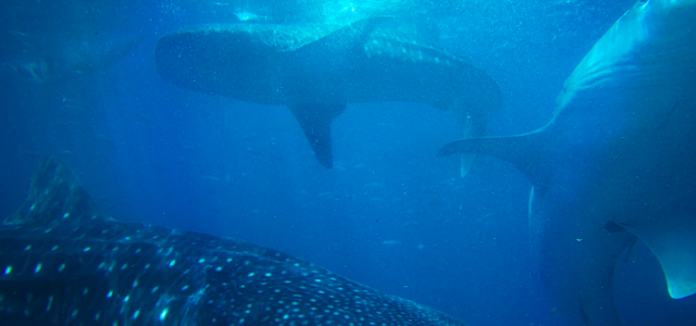 Biggest Shark ever seen in Australia