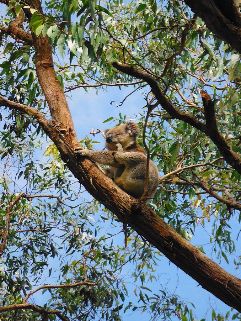 Koala Scratch