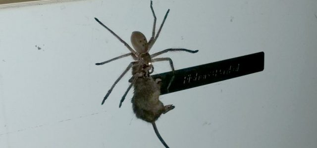 Australia – Huge Spider tries to eat a mouse