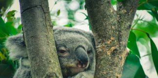 koala stories
