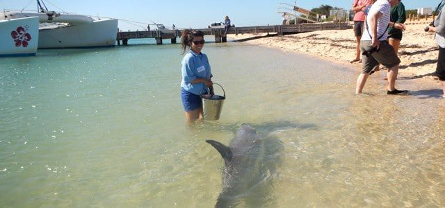 Dream job in Australia: Working with dolphins in Monkey Mia