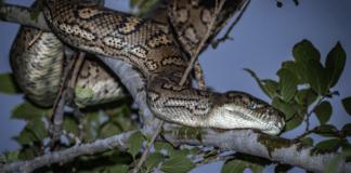 snake australia
