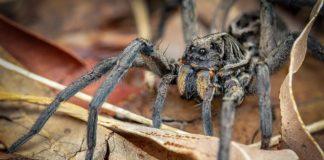 spider australia