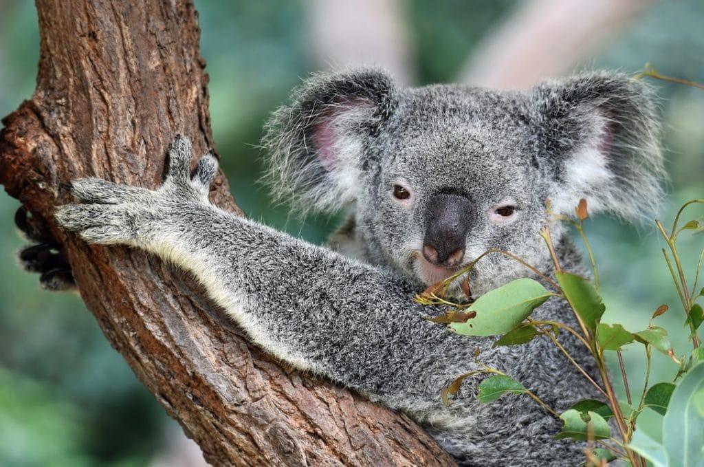 magnetic island-koala